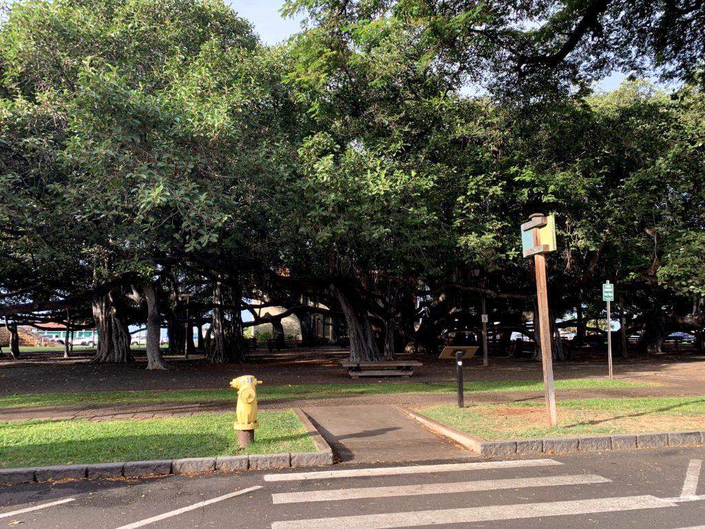 Lahaina Banyan Court Trees