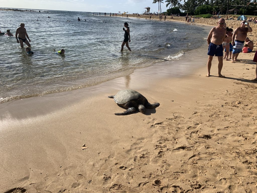 Poipu_Beach_Green_Sea_Turtle_Basking_Landscape