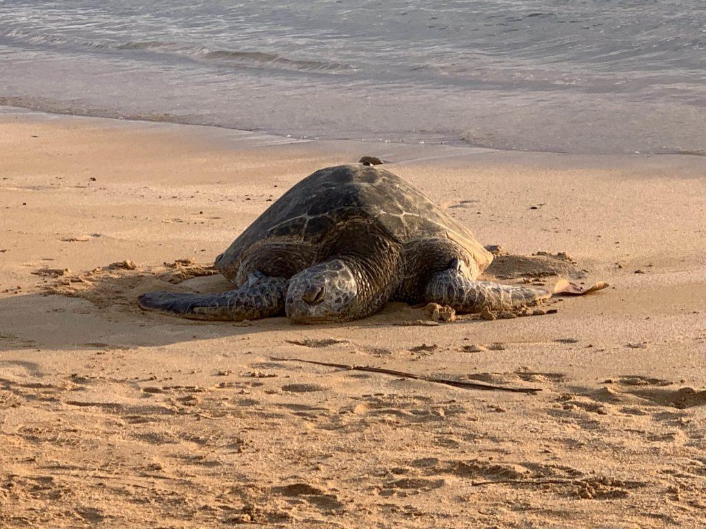 Poipu_Beach_Green_Sea_Turtle_Basking_at_Dusk