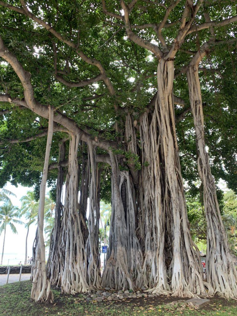 Waikiki_Beach_Banyan_Tree